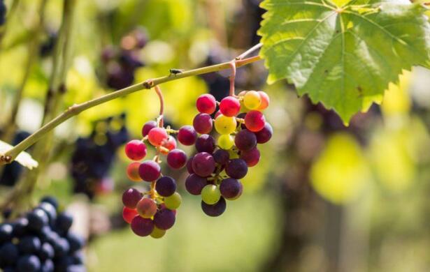 酿酒葡萄和精酿啤酒花的种植遍及密歇根州