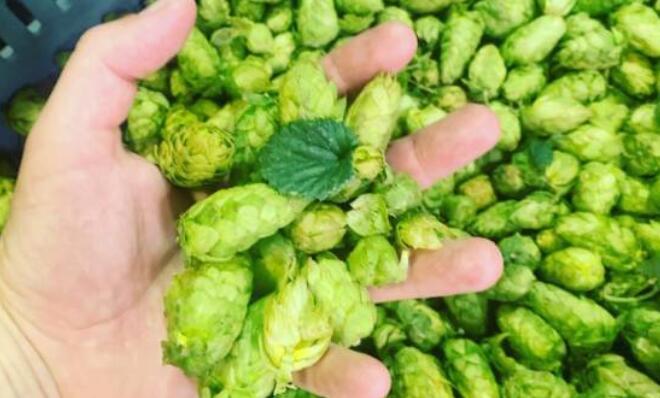 精酿啤酒酿造商庆祝一年一次的新鲜啤酒花活动