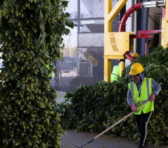 啤酒花种植者平衡精酿啤酒的需求与气候问题